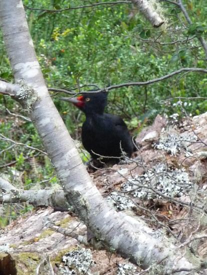 female of Magellanic Woodpecker