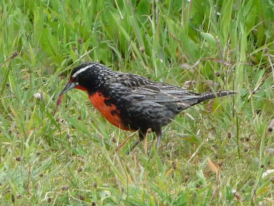 male of Long-tailed Meadowlark