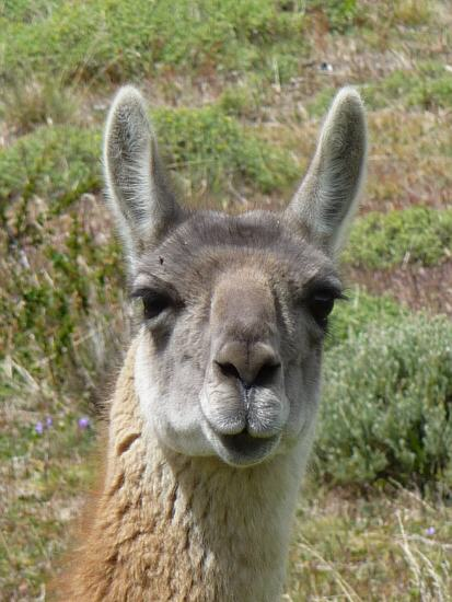peaceably Guanaco