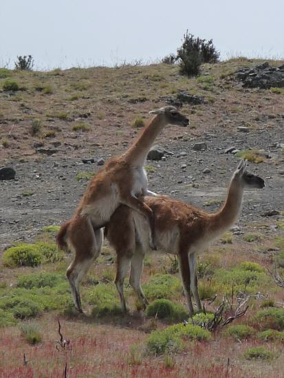 easy to recognize: male and female Guanaco